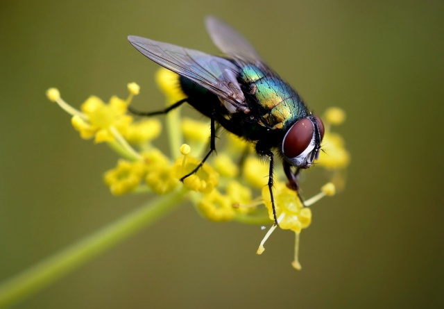 Puck, die Fliege