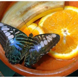 Schmetterling mit Obst
