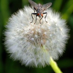Pusteblume mit Fliege