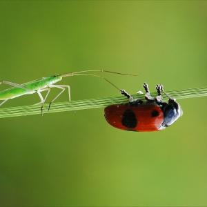 Ameisen-Sackkäfer mit Weichwanze