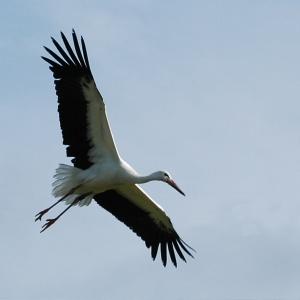 Storch im Landeanflug
