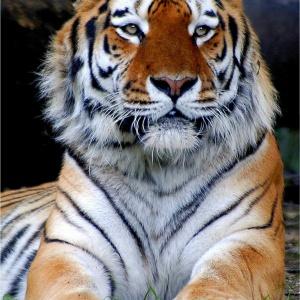 Sibirischer-Tiger