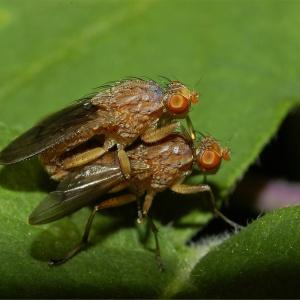 Fliegenpaar