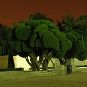 Broccolibäume